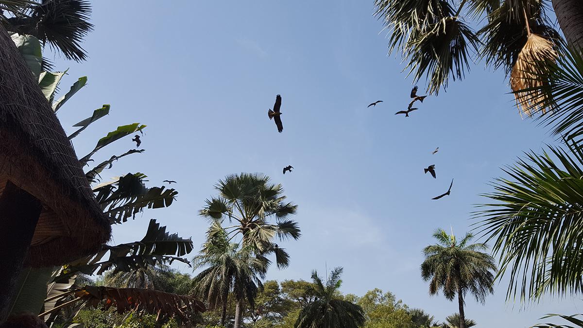 Gambian taivaalla liitää lintu